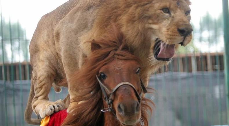 Lion2horse